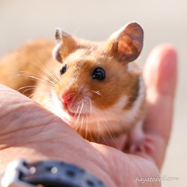 移動動物園 ネズミ