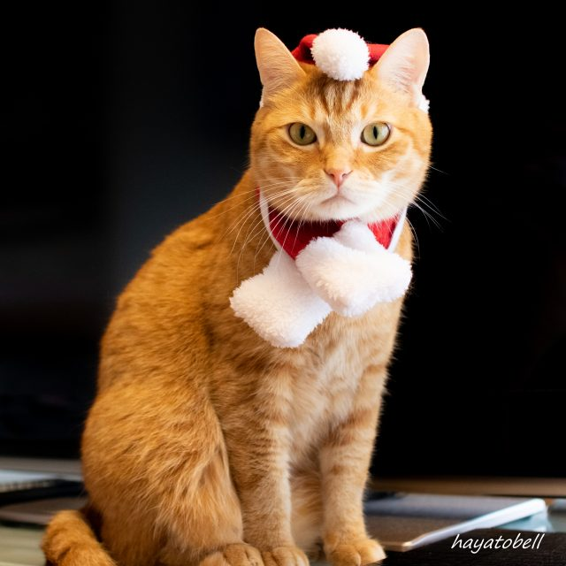 猫 レオ クリスマス