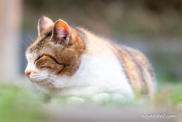 猫 寝ている